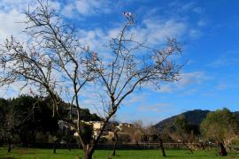 El temprano florecer de los almendros