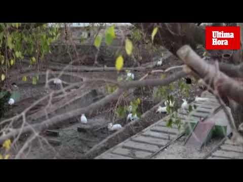 Unos 40 conejos viven en una zona abandonada de Cala Major, con el beneplácito de los vecinos