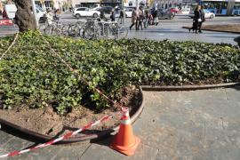 El Ajuntament de Palma retira el único árbol Brachichito de la plaza de España