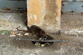Pimem Restauración denuncia que hay una plaga de ratas en la plaza de España de Palma