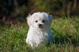 La agonía de un perro al que introdujeron un petardo encendido por el ano