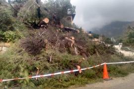 El temporal provoca la caída de pinos y de una pared en Valldemossa