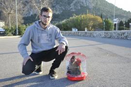 El Govern avisó al alcalde de que la multa por colgar el gallo en el Pi de Pollença sería de 10.000 euros