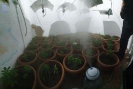 Detenida una pareja que tenía una plantación de marihuana en su casa del Coll