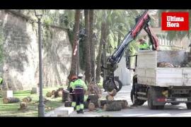 Retiran las palmeras caídas en Palma