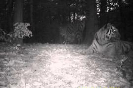 Primeras imágenes de una familia de tigres siberianos en China
