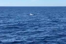 Delfines en el litoral de Sant Antoni