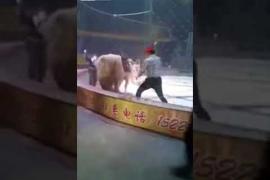 León y tigre atacan a caballo en circo