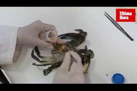 Cangrejos invasores en Mallorca