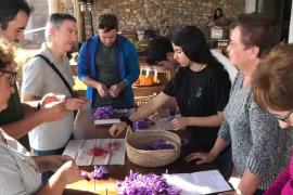 El Consell d'Eivissa organiza un taller gastronómico de floración y cosecha del azafrán